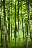 bakgrundsskog Royaltyfria Bilder