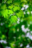 bakgrundsskogfjäder Royaltyfri Bild