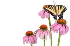 bakgrundsswallowtail Arkivfoto
