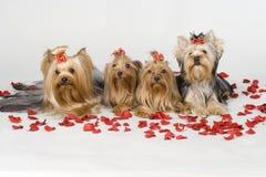 bakgrundsterrierswhite yorkshire Royaltyfri Foto