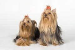 bakgrundsterrierswhite yorkshire Royaltyfria Bilder