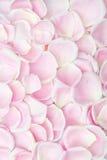 Bakgrundstextur av mjuka rosa färgroskronblad som är symboliska av förälskelse och Arkivfoton