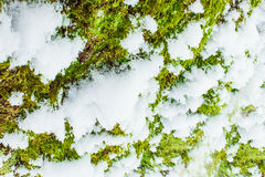 Bakgrundstextur av mossan på skället av ett träd med insnöat den ljusa vinterdagen Arkivbilder