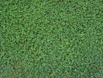bakgrundsväxt av släkten Trifolium royaltyfria bilder