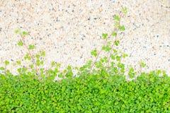 bakgrundsväxt av släkten Trifoliumgreen Royaltyfri Foto