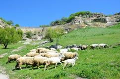 Bakhchisaray,吃草在射线Maryam-Dere的山羊和绵羊牧群在洞镇Chufut无头甘蓝前面的晴朗的春日 库存照片