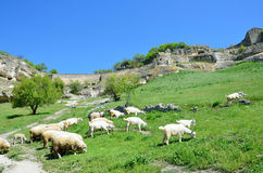 Bakhchisaray, herd of goats and sheeps grazing in the beam Maryam-Dere in sunny spring day in front of the cave town Chufut-Kale. Stock Images