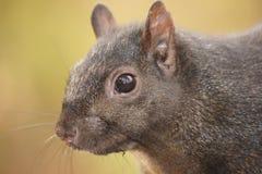 Bakkebaarden van de zwarte eekhoorn Stock Afbeeldingen
