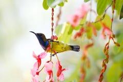bakolive sunbird arkivbilder