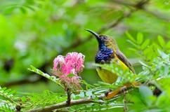 bakolive sunbird royaltyfri fotografi