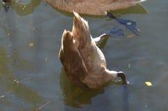 Bakre del av en ung lös svanung svandykning som söker efter undervattens- mat, huvud i vattnet royaltyfri foto