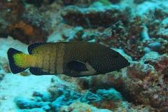 Bakre havsaborrefisk för påfågel Arkivfoto