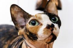 Bakre sfinxkatt med olik färghud Royaltyfri Foto