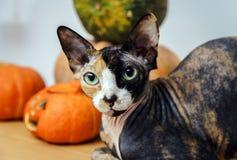 Bakre sfinxkatt med olik färghud Royaltyfri Fotografi