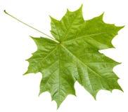 Bakre sida av den isolerade nya gröna lönnlövet royaltyfri fotografi