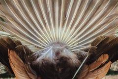 Bakre sikt av den manliga påfågeln som visar svansfjädrar Tillbaka sikt av Royaltyfria Foton