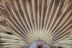 Bakre sikt av den manliga påfågeln som visar svansfjädrar Tillbaka sikt av Arkivfoton