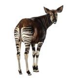 Bakre sikt av en okapi som tillbaka ser och råma, Okapiajohnstoni royaltyfri fotografi