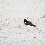 Bakre sikt av en strandskata på stranden av ön Heligoland Royaltyfri Foto