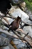 bakre sikt för björnbrownflyttning Royaltyfri Bild