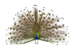 bakre sikt för indisk male peafowl Arkivfoton