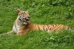Bakre sikt för tiger Arkivfoto