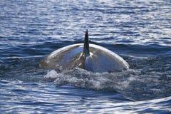 Baksida för det Minke valet ytbehandlade havet i Antarktis 1 Arkivfoto