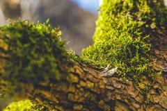 Baksida för fokus för closeup för mossa för höstskogträd stor royaltyfria foton