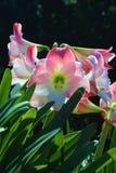 Baksida tända hybrid- liljor i vertikalt foto Royaltyfri Foto