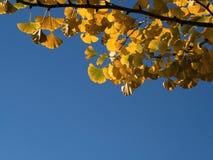 Baksida tände av GinkgoBiloba sidor med blå himmel Arkivbild