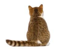 Baksidaen beskådar av den brittiska Shorthair kattungen, 3,5 gammala månader, sammanträde och att se upp Royaltyfria Foton