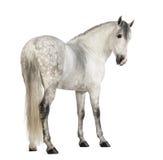 Baksidaen beskådar av en Male Andalusian, 7 gammala år, också som är bekant som den rena spanska hästen eller PRE och att se tillb Royaltyfri Foto