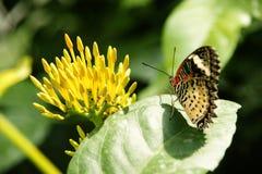 Baksikt av den gula orange färgrika fjärilen med dess vingar som sitter uppåt på det gröna bladet som vänder mot den gula blomman Arkivfoton