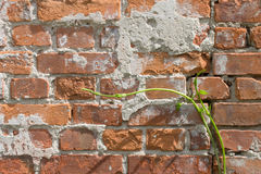 Bakstenen muur en een hopspruit Stock Afbeeldingen
