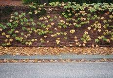 Bakstenen muur met gele en groene wijnstokbladeren op het Stoephoogtepunt van gevallen gebladerte en de asfaltweg royalty-vrije stock foto