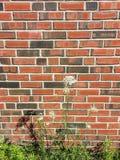 Bakstenen muurachtergrond met de bloem van het Koninginanne ` s Kant Royalty-vrije Stock Foto