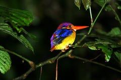 baksvart kingfisher Arkivbild