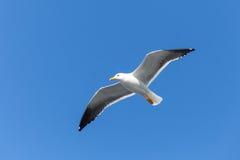 baksvart stor fiskmås Vit seagull i himmel Arkivbild