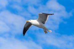 baksvart stor fiskmås Vitt seagullflyg Fotografering för Bildbyråer