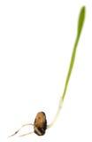 Bakterie av vetet Royaltyfria Bilder