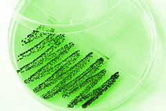 bakteriekultur Royaltyfria Bilder