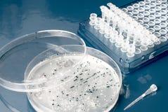 Bakterielle Kolonien auf Nährbodenplatte lizenzfreies stockfoto