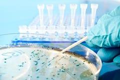Bakterielle Kolonien von der Nährbodenplatte aufheben lizenzfreies stockfoto