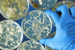 Bakterier som växer i en petri disk Arkivfoto