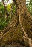 Baku - Fijian Banyan tree Royalty Free Stock Image