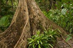 Baku - Fijian Banyan tree. MCU: Aerial root structure on the unique Fijian Baku tree (aka Fijian Banyan Stock Photography