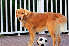 Balón de fútbol del perro Foto de archivo libre de regalías