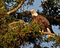 Bald Eagle in Maine Royalty Free Stock Photography