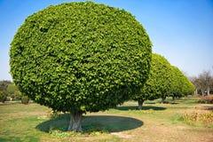 Bal gevormde bomen, New Delhi stock afbeelding