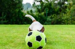 Bal van de hond de druppelende voetbal met zijn hoofd op groen grasgazon Royalty-vrije Stock Fotografie
